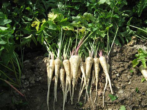 comment cuisiner un panais provence silvacane le panier de légumes le panais