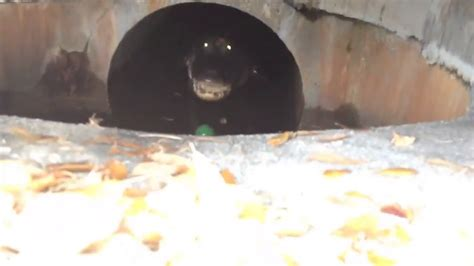 man finds giant hissing alligator   sewer drain youtube