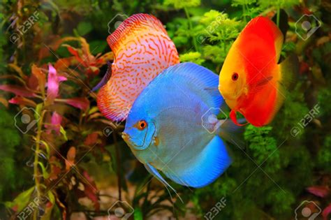 aquarium poisson d eau douce poisson naturel