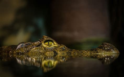 Gator Wallpaper For Iphone Crocodile Full Hd Wallpaper And Background 1920x1200 Id 428554