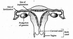 Draw A Neat Diagram Of The Female Reproductive System And Label The Parts Associated With The