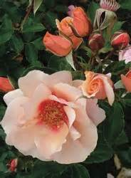 Sweet Pretty Rose : tesselaar plants introduces sweetspot roses the decorator rose ~ A.2002-acura-tl-radio.info Haus und Dekorationen