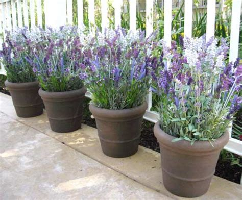 planter lavande en pot flowers and herbs make be leaves