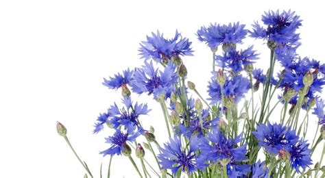 plante cuisine decoration bleuet semis entretien culture et arrosage