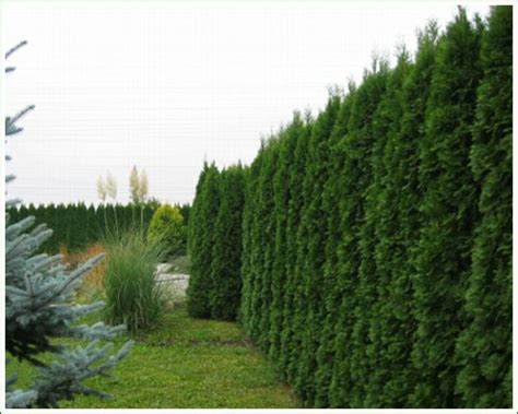 immergrüne winterharte kletterpflanzen m kaffl gmbh die besondere baumschule hecken und kletterpflanzen