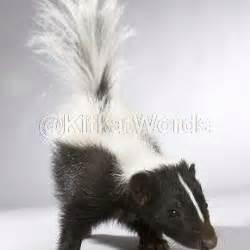 skunk meaning  telugu english skunk  telugu telugu