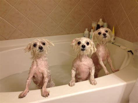does maltipoo shed hair soaking i maltese and pugs
