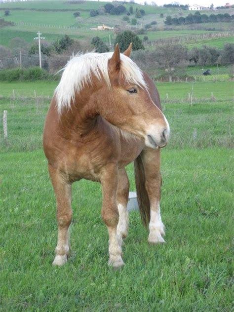carrozze cavalli usate le razze dei cavalli attaccati
