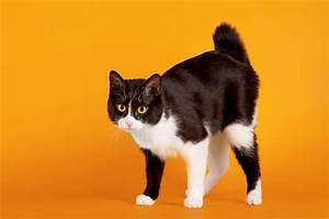 American Bobtail Cat Image