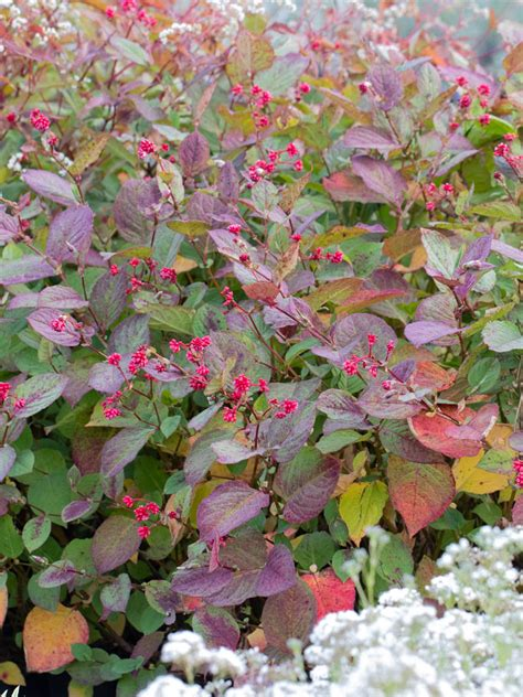 indian summer pflanze stauden stade versand shop bistorta species indian summer kn 246 terich hier bestellen