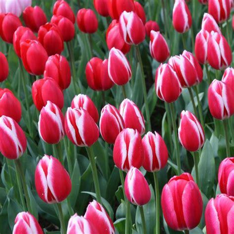 Garten Tulpen Pflanzen by Tulpenzwiebeln Pflanzen Wann Tulpenzwiebeln Im Herbst