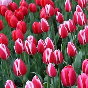 Tulpen Im Topf In Der Wohnung : tulpen pflanzen pflege und tipps mein sch ner garten ~ Buech-reservation.com Haus und Dekorationen