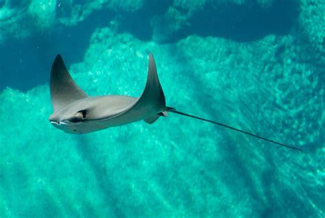 sting ray pictures kids search