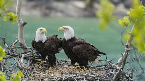 Yukon Eagles Bing Wallpaper Download