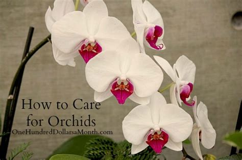 How To Care For Orchids  One Hundred Dollars A Month