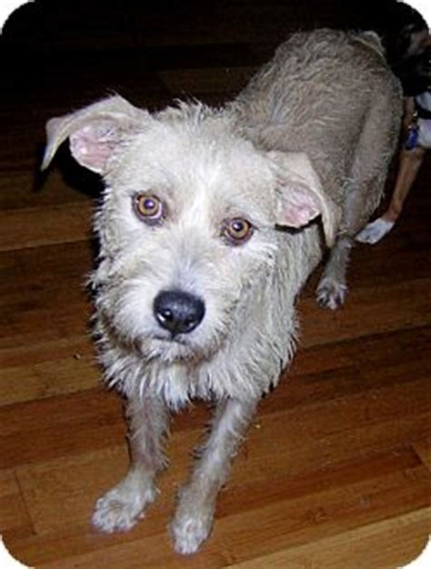 Prescous Adopted Dog Hollywood Fl Schnauzer Standard Fox Terrier Wirehaired Mix