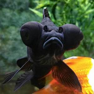 Black Moor Goldfish - Black Moor Care