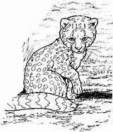Coloring Cheetah Zoo Animals Animal Freecoloringpagefun Lynx Coloringbay sketch template