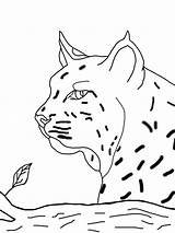 Coloring Pages Bobcat Print Printable Animals Getcolorings Getdrawings Face Drawing sketch template