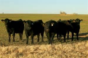 Beef Cattle Pasture Grass