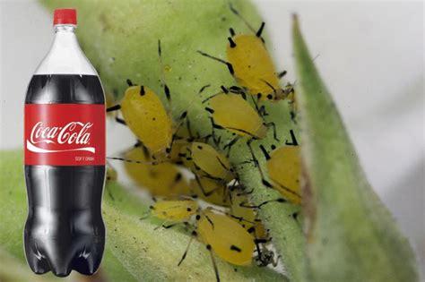 Piedzirdiet negantās laputis līdz nāvei ar Coca-Cola!