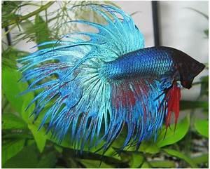Poisson Aquarium Eau Chaude : z 39 animo nos z 39 amis les poissons poissons d 39 eau chaude ~ Mglfilm.com Idées de Décoration