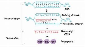 what strand of dna is used to make a complementary copy or With what is the template strand