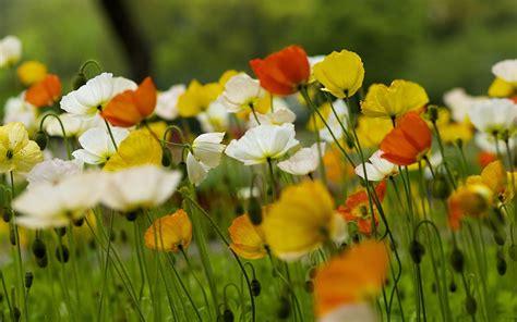 Nature Poppies Summer Field Bokeh Wallpaper 1920x1200