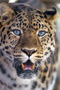 Pretty Amur Leopard With Blue Eyes Ii