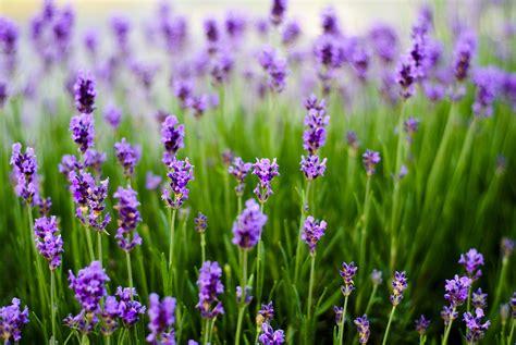 welche pflanzen gegen wespen 20 pflanzen gegen m 252 cken das hilft wirklich gesundheit zenideen