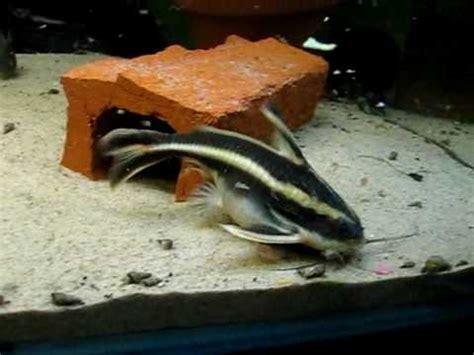 catfish aquarium youtube