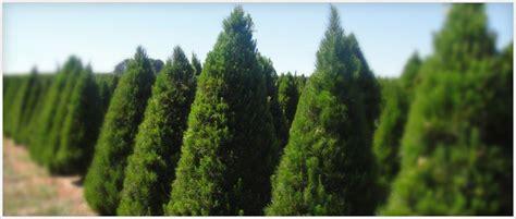 πιο οικολογικό το αληθινό χριστουγεννιάτικο δέντρο