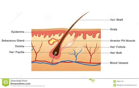 structure of hair stock photo image of illustration