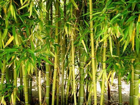 bamboo1 cordaro 39 s healthy green