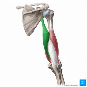 Triceps Brachii Muscle  Anatomy  Function And Innervation
