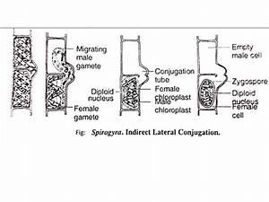 Spirogyra Lateral Conjugation   www.pixshark.com - Images ...