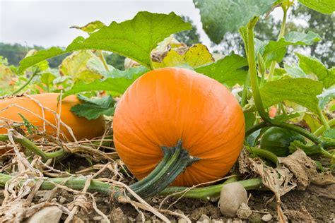 Colorado Pumpkin Patches 2017 by Pumpkin Patch 14765351959oo Eden S Garden