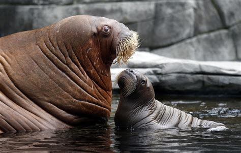 walrus pictures kids search