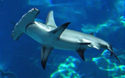 Animated Shark Wallpaper - hammerhead shark desktop wallpaper hd for mobile phones
