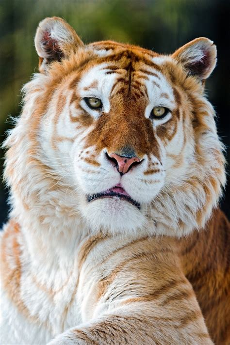 Catalan Xeptum Golden Tiger