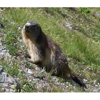 File:Alpine Marmot.jpg - Wikipedia