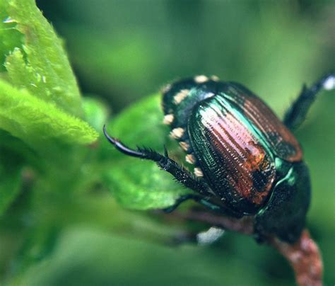 C Kitchen Ideas - controlling adult japanese beetles in the garden