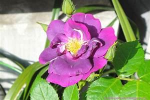 Violet rose / Beguni golap    Only beautiful Roses
