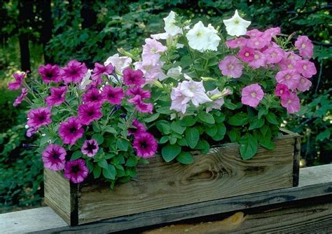 petunia garden beechwood landscape architecture and construction spring bloomers petunia edition