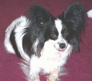 puppy   adult dog