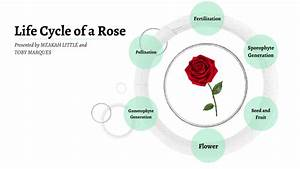 Life Cycle Of A Rose By Meakah Little On Prezi Next