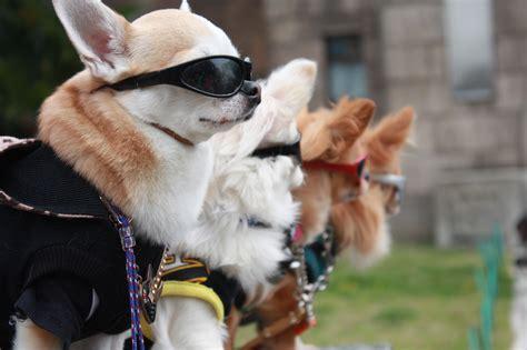images puppy model fashion japan sunglasses