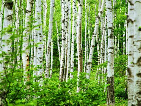 rustic medicine birch kittie kraft