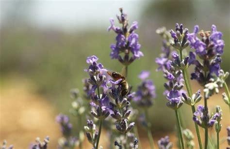 texas lavender blanco lavender festival flower festival