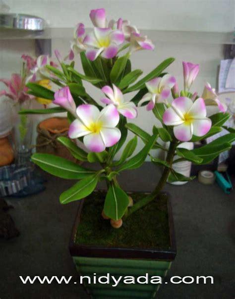 Bloggang.com : nidyada - ลีลาวดี ..ดอกไม้ดินญี่ปุ่น